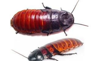 Мадагаскарский шипящий таракан содержание