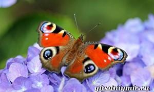 Павлиний глаз бабочка. Образ жизни и среда обитания бабочки павлиний глаз